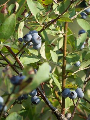 Blueberries at Koinonia Farm